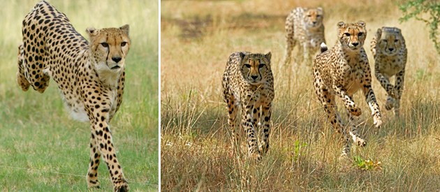 Ann van Dyk Cheetah Centre - De Wildt